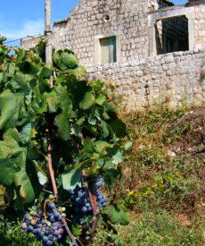 grozdje_03